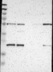 NBP1-84259 - MSRB3