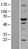 NBL1-16546 - STK3 Lysate