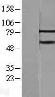 NBL1-13352 - MTA3 Lysate