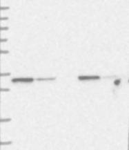 NBP1-89482 - MTCH2