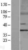 NBL1-13356 - MTERF Lysate