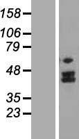 NBL1-13358 - MTERFD2 Lysate