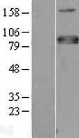 NBL1-13360 - MTF1 Lysate