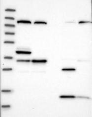 NBP1-81789 - MTG1