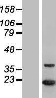 NBL1-13852 - NUDT1 Lysate