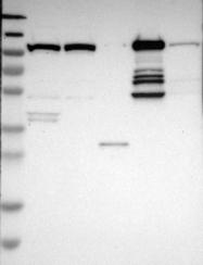 NBP1-82610 - MTHFD1