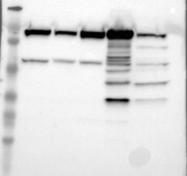 NBP1-82611 - MTHFD1