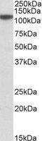 NBP1-78279 - MTHFD1L