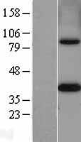 NBL1-13363 - MTHFD2 Lysate