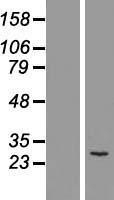 NBL1-13364 - MTHFD2 Lysate