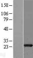 NBL1-13366 - MTHFS Lysate