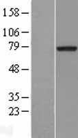 NBL1-13375 - MTMR2 Lysate