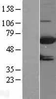 NBL1-13377 - MTMR9 Lysate