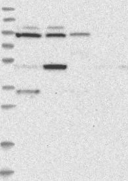 NBP1-85932 - MTO1