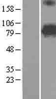 NBL1-13380 - MTO1 Lysate