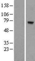 NBL1-13381 - MTO1 Lysate
