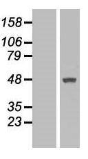 NBL1-13383 - MTRF1 Lysate