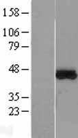 NBL1-13384 - MTRF1L Lysate