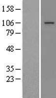 NBL1-13387 - MTTP Lysate