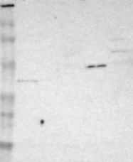 NBP1-85779 - CD227 / Mucin-1 / MUC1