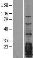 NBL1-13391 - MUC1 Lysate