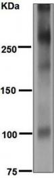 NBP1-95940 - Mucin-2