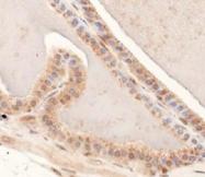 NBP1-52193 - Mucin-4