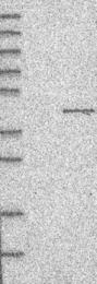 NBP1-88489 - MUL1 / RNF218