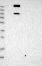 NBP1-87839 - MUPP1