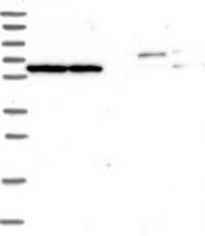 NBP1-92153 - TRIM55 / MURF2 / RNF29