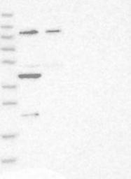 NBP1-92154 - TRIM54 / MURF3 / RNF30