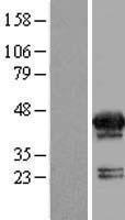 NBL1-13401 - MVK Lysate