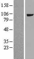 NBL1-13402 - MVP Lysate