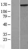 NBL1-13411 - MYBBP1A Lysate