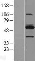 NBL1-13413 - MYBPH Lysate
