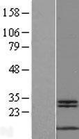 NBL1-13415 - MYCBP Lysate