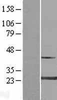 NBL1-13426 - MYL4 Lysate