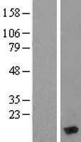 NBL1-13427 - MYL6 Lysate