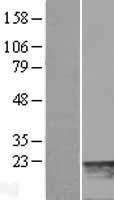 NBL1-13429 - MYL7 Lysate