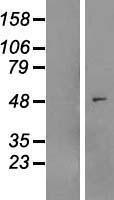NBL1-13432 - MYLIP Lysate