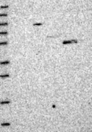 NBP1-93617 - MYO16