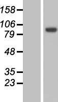 NBL1-13435 - MYO19 Lysate