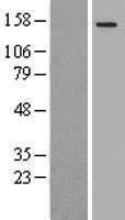 NBL1-13441 - MYO6 Lysate