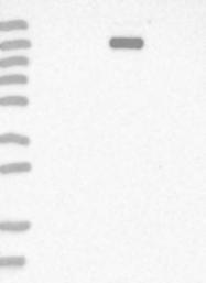 NBP1-81960 - Myomesin-3