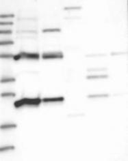 NBP1-81014 - Myopalladin