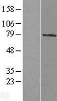 NBL1-13448 - MYST2 Lysate
