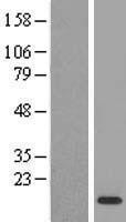 NBL1-08853 - Macrophage Inflammatory Protein 3 Lysate