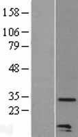 NBL1-08850 - Macrophage Inflammatory Protein 3 alpha Lysate