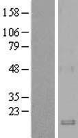NBL1-08848 - Macrophage Inflammatory Protein 3 beta Lysate