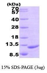 NBP1-44466 - MIP3-beta / CCL19